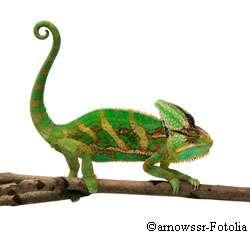 Vous craquez pour un joli caméléon ? Renseignez-vous bien sur lui... et pensez aussi à son propre bien-être. © Arnowssr / Fotolia
