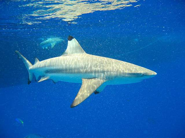 Le requin bordé est quasi menacé selon la classification de l'UICN. © Olivier Roux, Flickr, cc by nc 2.0