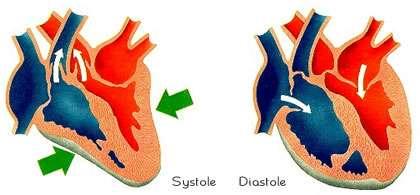 La systole est l'étape de contraction du coeur. Crédits DR