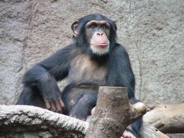 Membres de la famille des hominidés et de l'ordre des primates, les chimpanzés forment un genre de grands singes apparentés à l'espèce humaine avec laquelle ils partagent 99,6 % de patrimoine génétique. © Thomas Lersch, Wikimedia Commons, CC by-sa 3.0