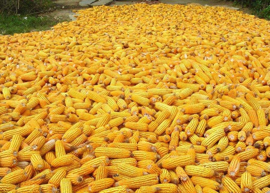 Le maïs MON 810 est une variété génétiquement modifiée produite par le groupe Monsanto. Elle est capable de résister à la pyrale du maïs. © Pratheepps, Wikipédia, cc by sa 2.5