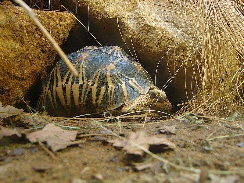 Très commune dans le passé, la tortue étoilée de Madagascar est désormais plus présente sur les étals de viande de brousse et dans les foyers que dans son habitat naturel. © Nevit Dilmen, Wikimédia CC by-sa 3.0