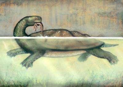 Reconstitution artistique de Carbonemys cofrinii. Elle tient dans sa gueule un petit crocodilomorphe. D'autres restes de tortues fossiles ont été trouvés dans la mine de Cerrejón. Ils appartiennent à des espèces plus petites et possèdent souvent des traces de morsures attribuées à des crocodiles. Cependant, ces derniers devaient se sentir impuissants face à la taille de la tortue du charbon. © Liz Bradford