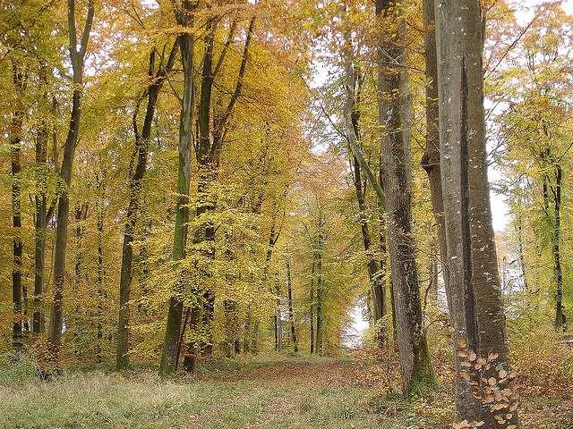 Une forêt tempérée décidue à l'automne : les arbres des feuillus changent de couleur et se préparent à tomber. © Pencroff CC by-nc-sa 2.0