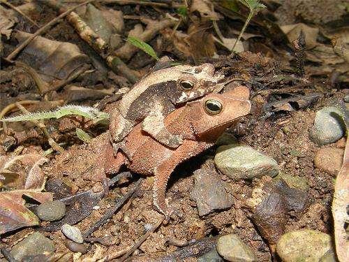 Couple de crapauds en amplexus : le mâle (plus petit) agrippe la femelle par derrière. © bgv23 CC by