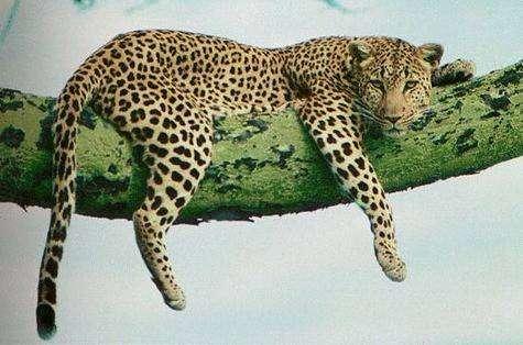 Léopard de l'Amour. Crédit WWF.
