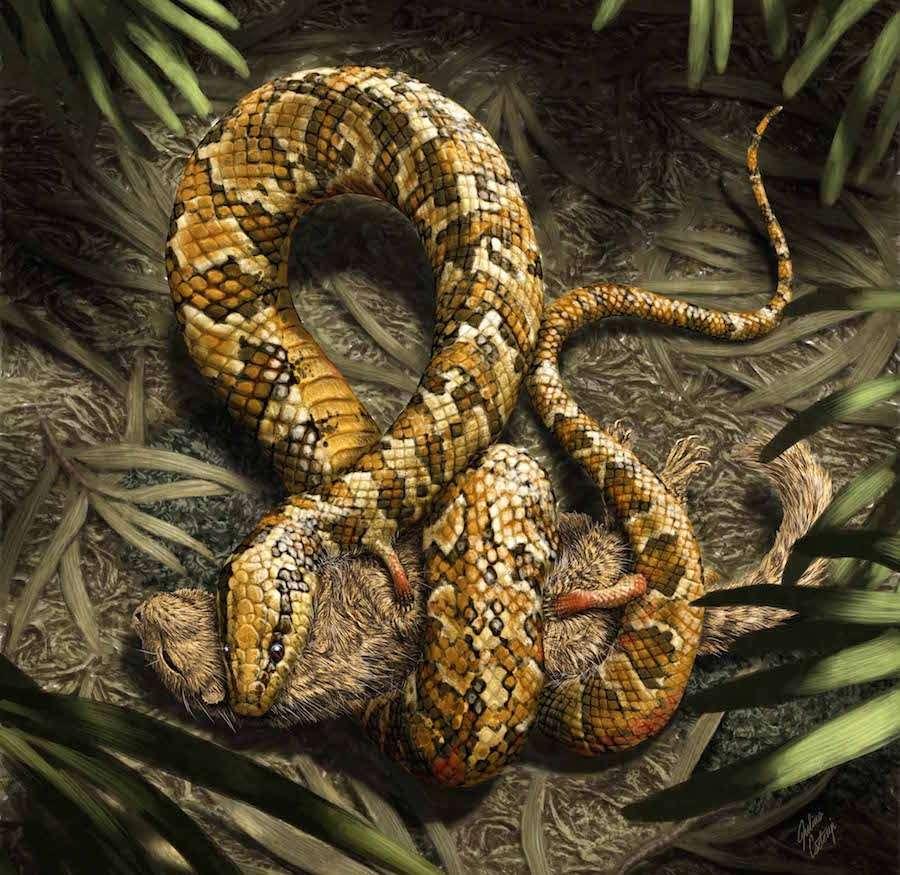 Une représentation artistique (et hypothétique) de Tetrapodophis amplectus, qui ressemblait énormément à un serpent mais qui vivait au début du Crétacé, une époque où, jusque-là, on ne connaissait aucun serpent. À quoi pouvaient lui servir ses pattes ? Peut-être à agripper des proies ou le partenaire sexuel, avancent les auteurs de cette découverte faite dans un musée. © Julius T. Cstonyi, Science
