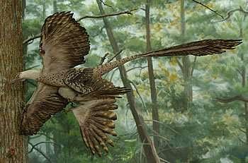 Le Microraptor, tel qu'on le représente à l'American Museum of Natural History, à New York. Ce reptile ailé vivait entre 125 et 130 millions d'années avant notre ère. Principale originalité : des ailes sur les pattes arrière, une formule oubliée depuis longtemps… © American Museum of Natural History