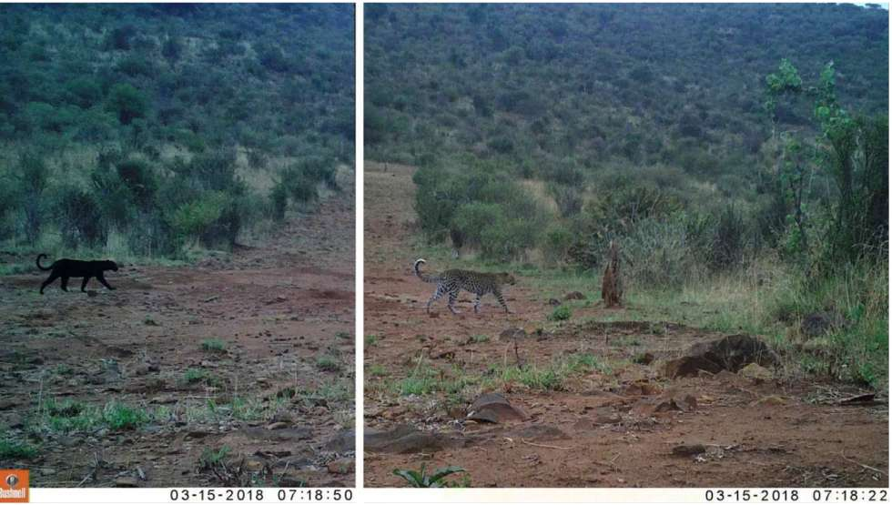 Une panthère noire femelle presque adulte surprise le 15 mars 2018 au Kenya par les pièges photographiques posés par les chercheurs du zoo de San Diego, alors qu'elle suivait un léopard femelle adulte au pelage normal. © Nicholas Pilfold et al, African Journal of Ecology, 2019