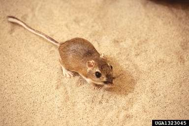 Le rat kangourou prêtera-t-il son nez à nos maisons ? © Ken Hackman / USDA CC by