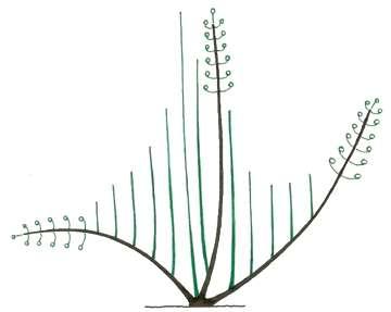 Les rameaux (en vert) issus de bourgeons près de la souche vont pousser plus rapidement que ceux partant plus loin sur la branche (marron). © Pascal Prieur/Raimbault et Chartier 1990