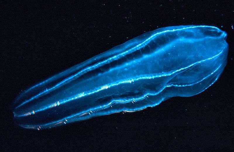 Beroidae, élément du zooplancton. Crédits DR