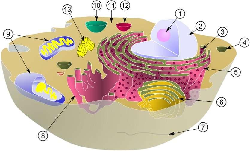 Sur ce schéma d'une cellule animale eucaryote typique, le cytosol correspond au milieu coloré en brun (11). Les autres chiffres indiquent nucléole (1), noyau (2), ribosome (3), vésicule (4), ergastoplasme (5), appareil de Golgi (6), cytosquelette (7), réticulum endoplasmique lisse (8), mitochondrie (9), vacuole (10), lysosome (12) et centriole (13). © MesserWoland et Szczepan 1990, Wikimedia Commons, cc by sa 3.0