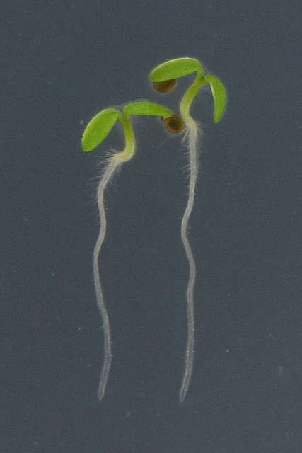 La racine pivotante est bien visible (en blanc) chez ces plantules de dicotylédone. © BlueRidgeKitties CC by-nc-sa 2.0