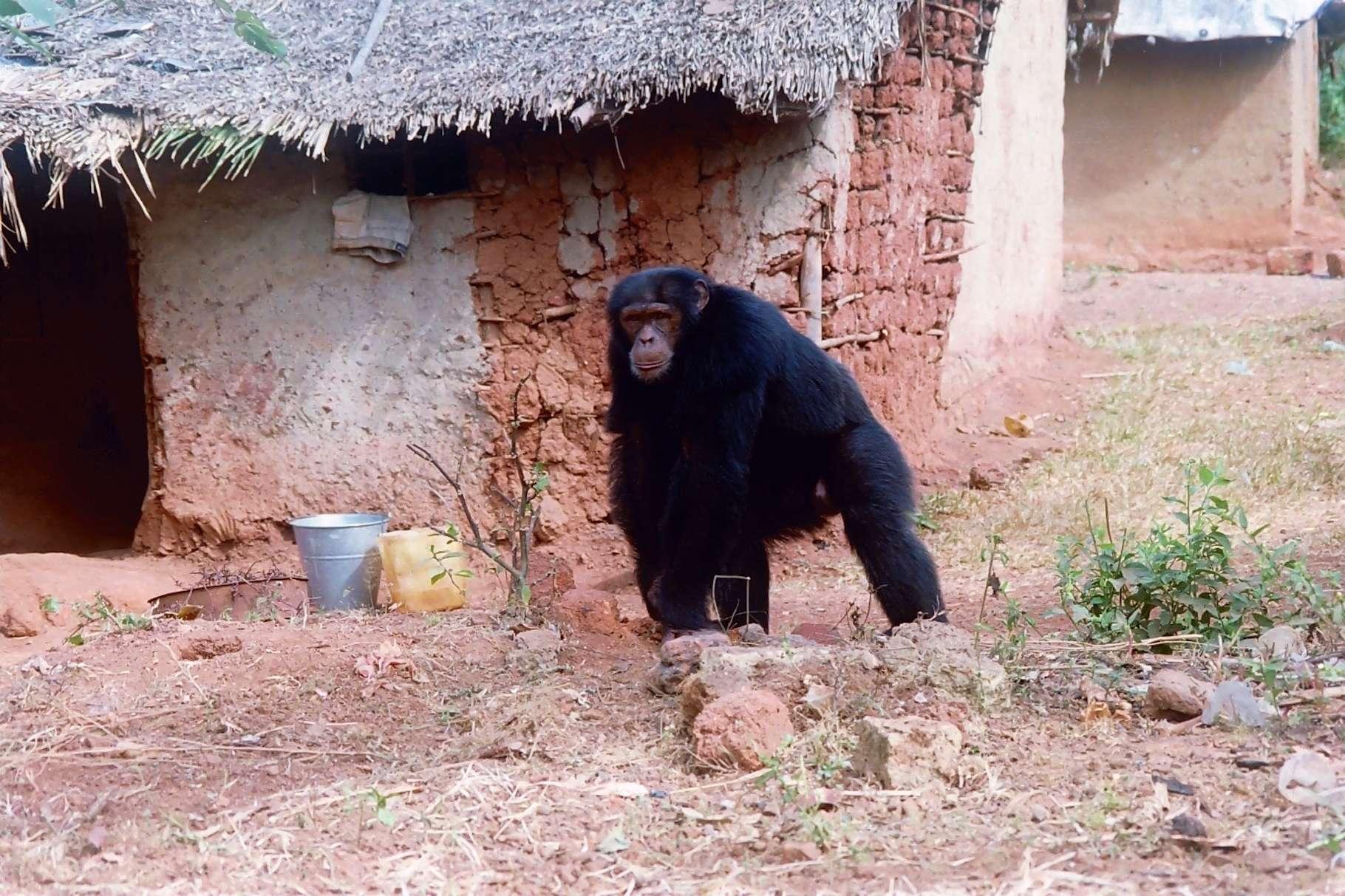 La crise du coronavirus a une nouvelle fois mis en lumière la difficulté que les Hommes ont à cohabiter avec la faune sauvage. L'exemple des grands singes sera discuté à l'occasion d'un live Facebook Futura, ce jeudi 9 juillet 2020, à partir de 16 heures. © Biotope