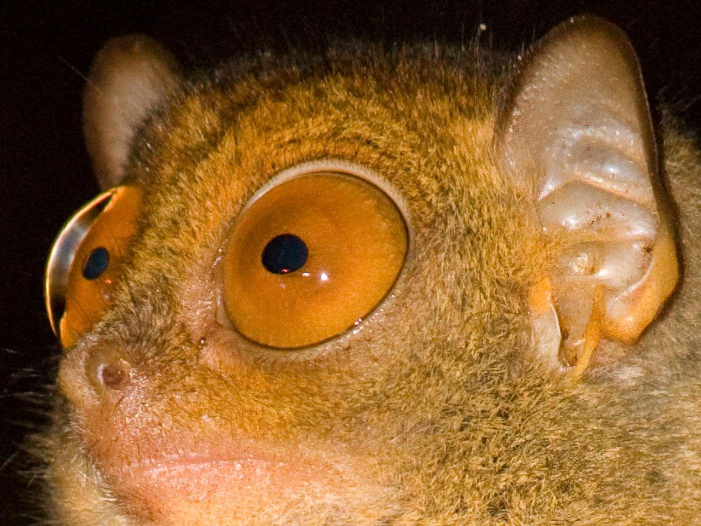Le tarsier est un animal nocturne. Il a donc des yeux adaptés à la vision de nuit. Ils sont particulièrement grands. © Erwin Bolwidt, Flickr, CC by-nc-sa 2.0