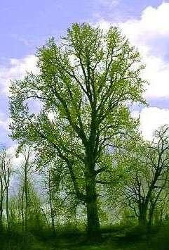 Le peuplier américain Populus trichocarpa