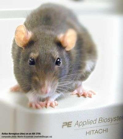 Des rats nous apprendront-ils à marcher autrement ? © Martin Krzywinski