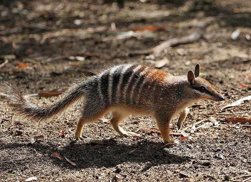 Avec l'échidné, le numbat est le seul marsupial fourmilier. © Martin Pot, Wikipédia, GNU 1.2