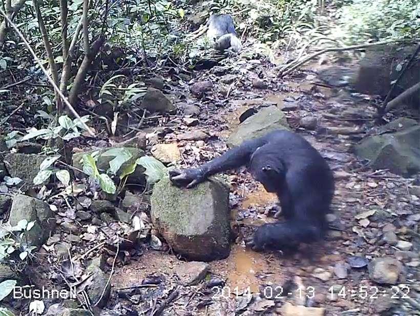 Les chimpanzés des montagnes Nimba en Guinée sont de grands amateurs de crabes d'eau douce, qui apparaissent comme une bonne source de nutriments pour les femelles et les jeunes individus en pleine croissance. © Kyoto University/Kathelijne Koops