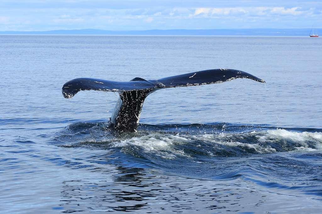 Personne ne sait pourquoi la baleine, nommée 52 Hz, chante à cette fréquence. Cela peut être dû à une malformation, mais la baleine semble en bonne santé, puisqu'elle vit depuis plus de 20 ans, et migre chaque année. © ellor1138, Flickr, cc by nc nd 2.0