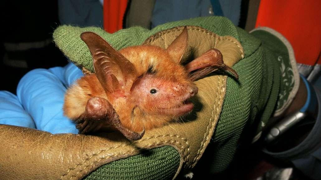 Le premier spécimen de Myotis nimbaensis capturé en Guinée. Il s'agit d'un mâle adulte. © Bat Conservation International