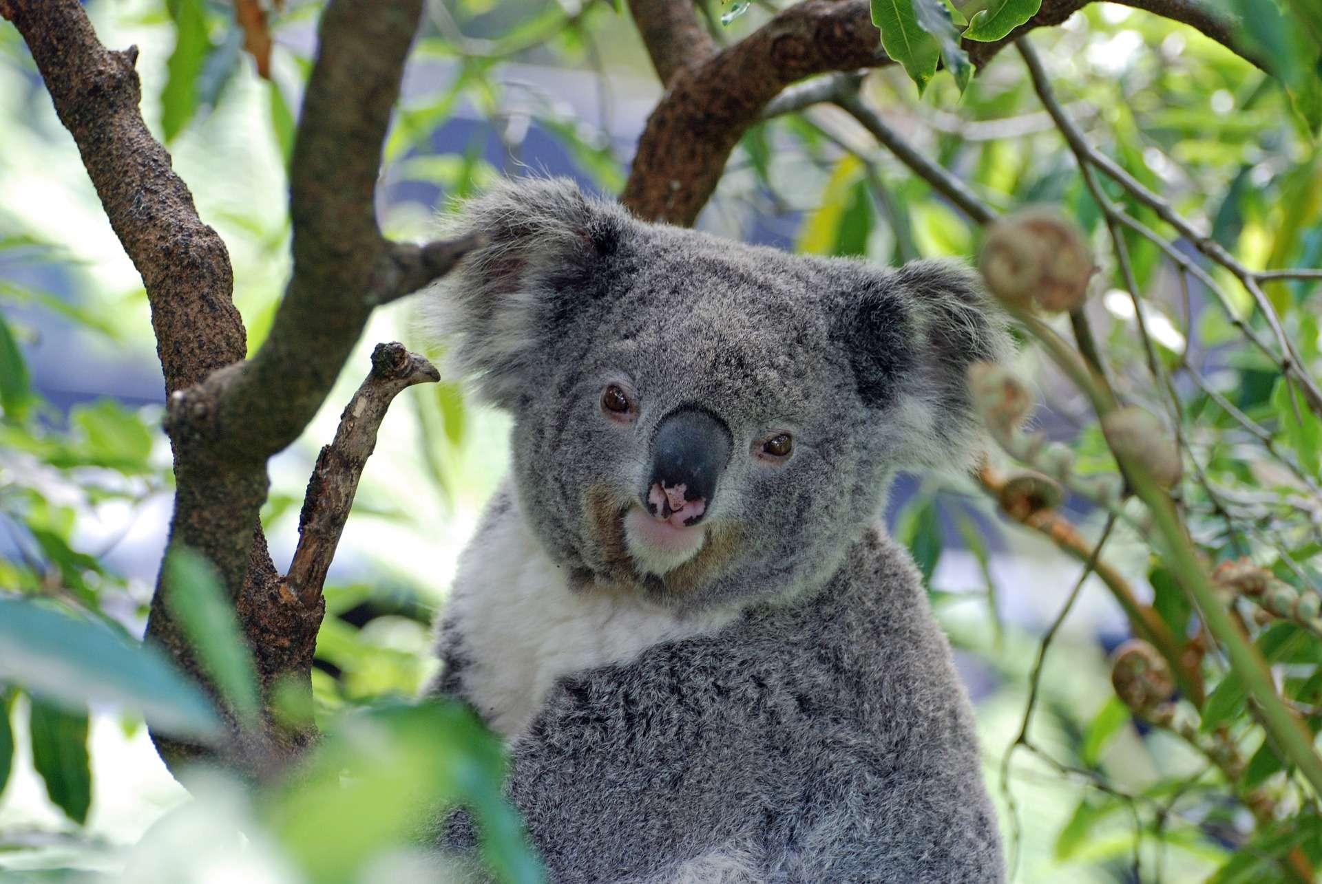 Le koala est un marsupial endémique de l'Australie, particulièrement vulnérable à la réduction de son habitat (les forêts d'eucalyptus), aux maladies et aux températures extrêmes. © CC0
