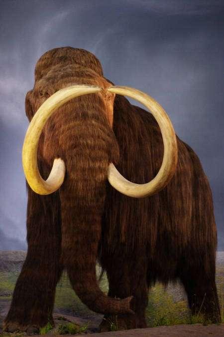 Un mammouth laineux, Mammuthus primigenius, cousin de nos éléphants. L'espèce s'est éteinte après la fin de la dernière glaciation. © 2007 Kyle Flood