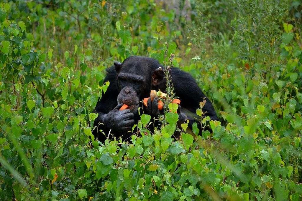 Un chimpanzé saisi en pleine pause repas. © Tim Strater, cc by nc 2.0