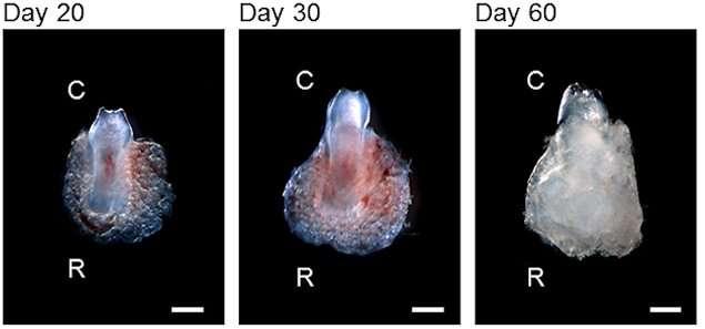 La dent en train de pousser, à 20, 30 et 60 jours. © PlosOne/Takashi Tsuji et al.