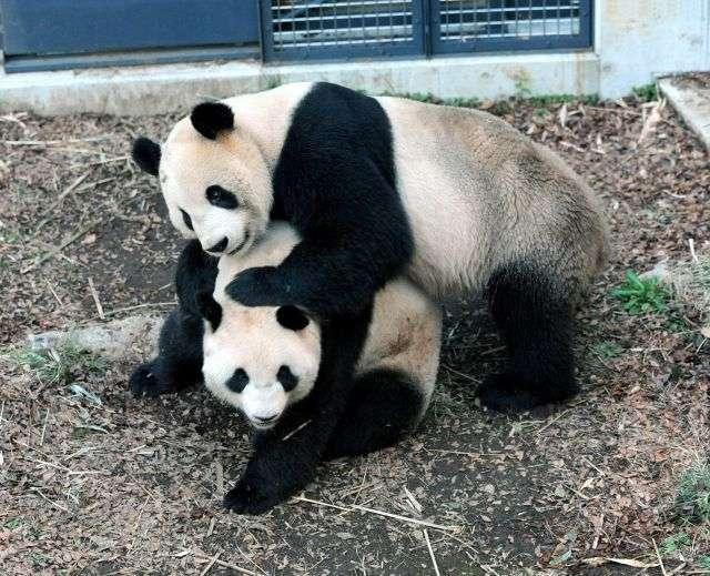 Ri Ri (au-dessus) et Shin Shin, les pandas géants du zoo d'Ueno à Tokyo. © AFP Photo / Ueno Zoological Park