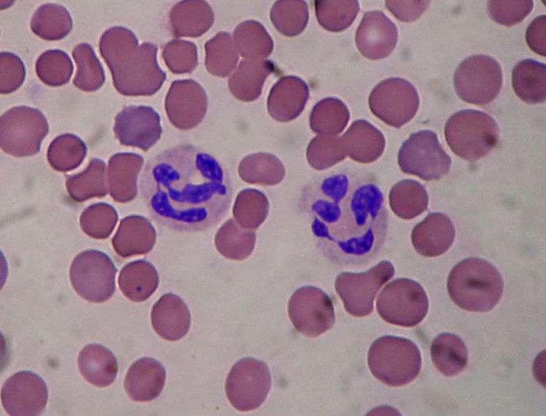 Un granulocyte (ici un neutrophile entouré de globules rouges) possède un noyau polylobé. © Salvadorjo, Wikimedia, GFDL 1.2