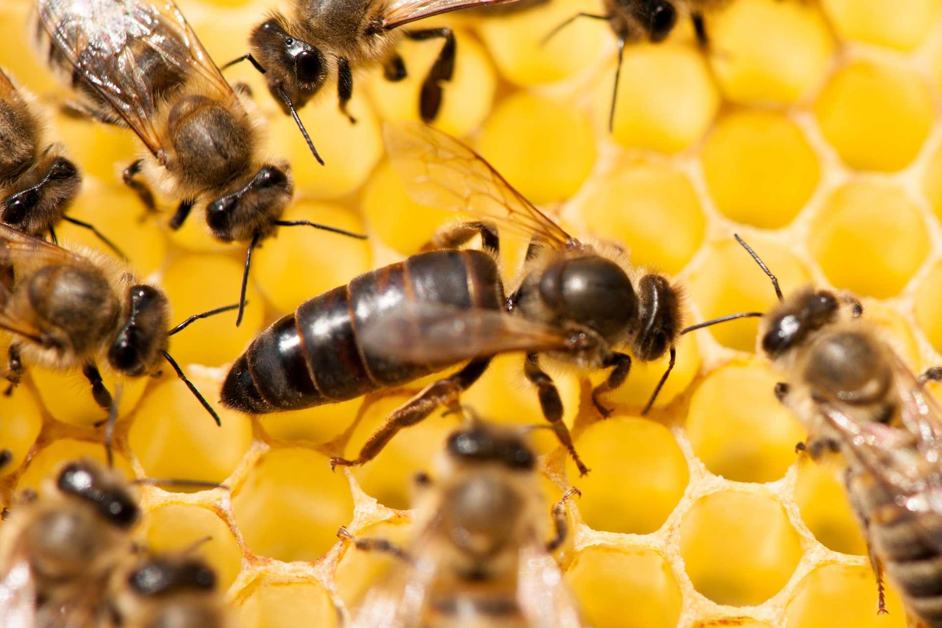 Ce sont les abeilles les plus gourmandes qui deviennent reines