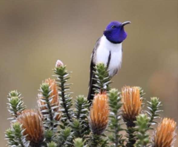 Le chant du colibri du Chimborazo étonne les chercheurs. Les plumes sur les joues s'évasent pendant le chant, et la gorge gonfle les plumes iridescentes. © Fernanda G. Duque, Georgia State University