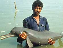 Crédits : WDCSUn plataniste du Gange