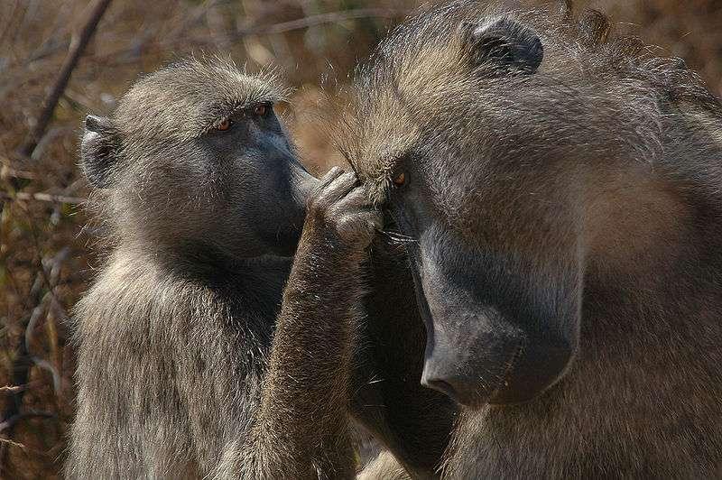 Dans certaines populations animales, comme ici chez le babouin chacma, le plus grand risque couru par les petits en bas âge ne vient pas des prédateurs ni des maladies, mais des mâles de leur propre espèce, capables de les tuer pour garantir leur propre lignée. Ce comportement est responsable jusqu'à 70% de la mortalité infantile. © Tom Adams, domaine public