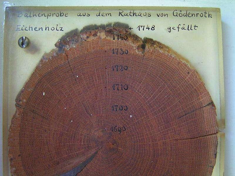 La lecture des différents anneaux de croissance de cet arbre pourrait très certainement fournir des informations précieuses sur le climat entre 1690 et 1740. © Stefan Kühn, Wikimédia Common, CC by-sa 3.0