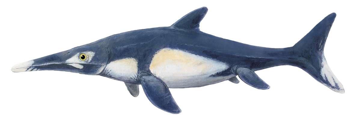 "Une reconstitution d'artiste d'un ichthyosaure. © Josh Lee (Adelaide) ""Dinosaurs in Australia"" by BP Kear and RJ Hamilton-Bruce (CSIRO Publishing)"