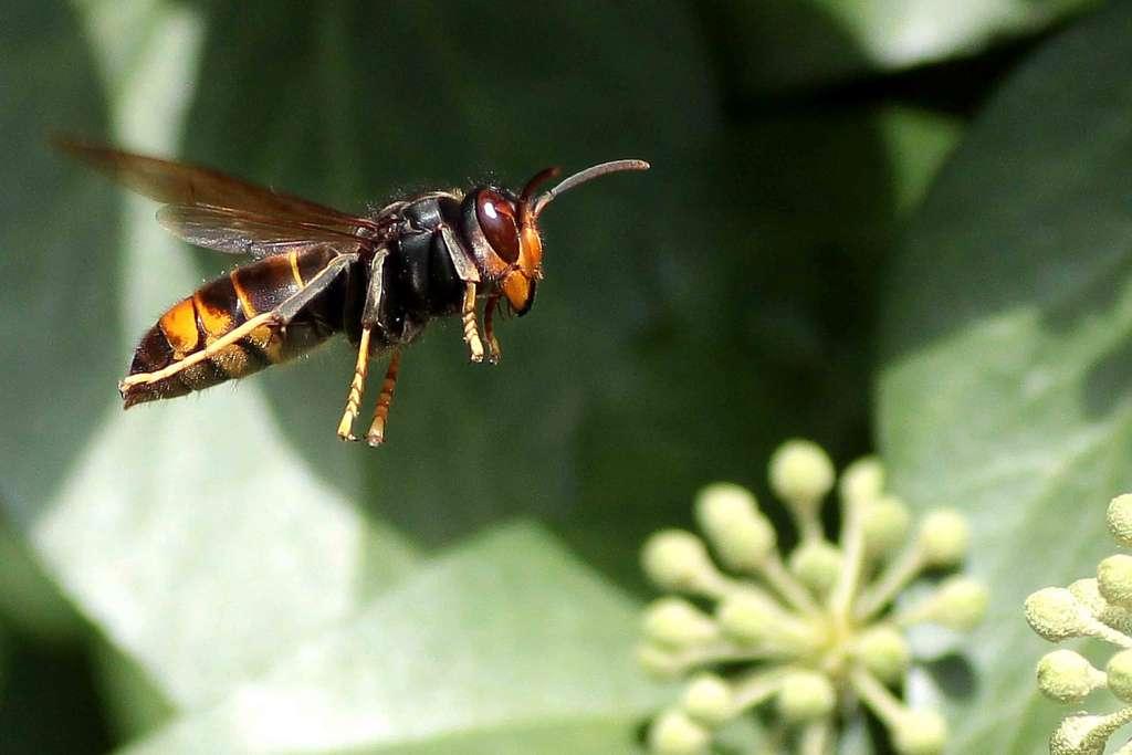 Le frelon asiatique ne présente aucun danger pour l'Homme... s'il reste à distance des nids. Les abeilles capturées sont destinées à l'alimentation des larves, les adultes se nourrissant plutôt de fruits mûrs et de nectar. © el chip, Flickr, CC by-nc-sa 2.0
