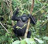 Les gorilles font partie des espèces menacées par la consommation de viande de brousse