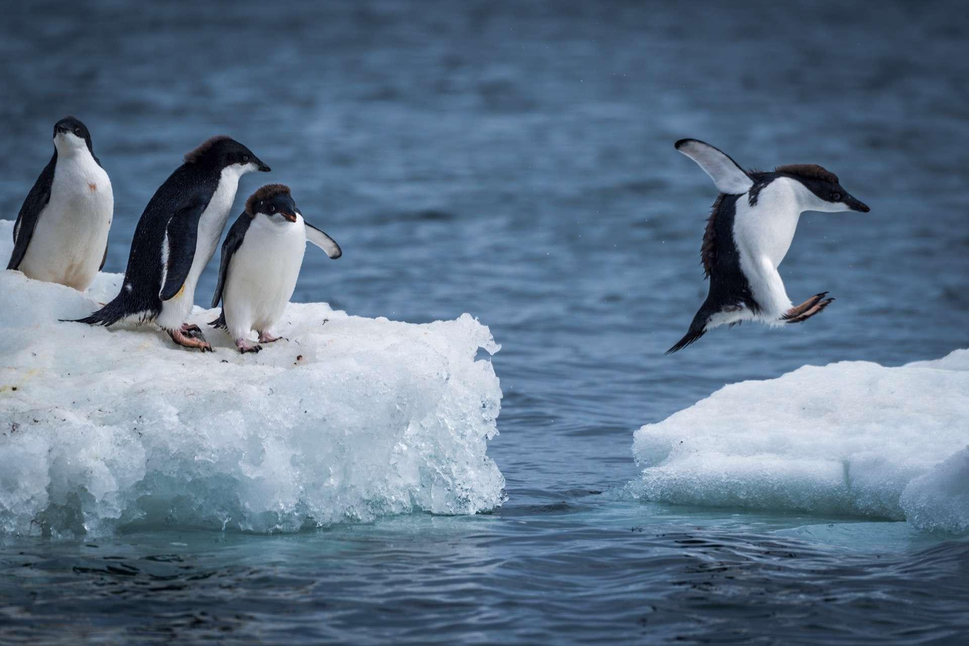 Les manchots, contrairement aux pingouins, vivent dans l'hémisphère Sud. En Antarctique, par exemple. Ici, des manchots Adélie (Pygoscelis adeliae). @ Nick Dale, Adobe Stock