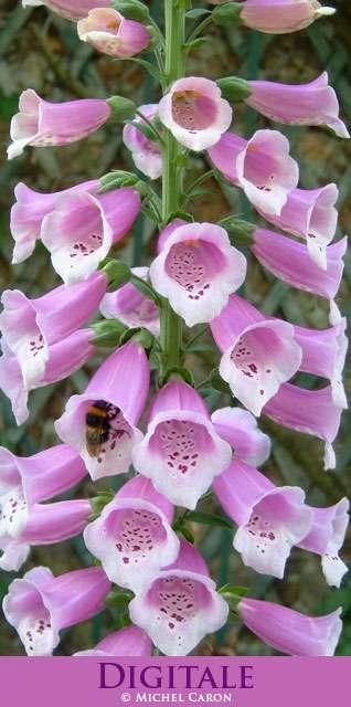 Une belle fleur, la digitale. Crédit : Michel Caron
