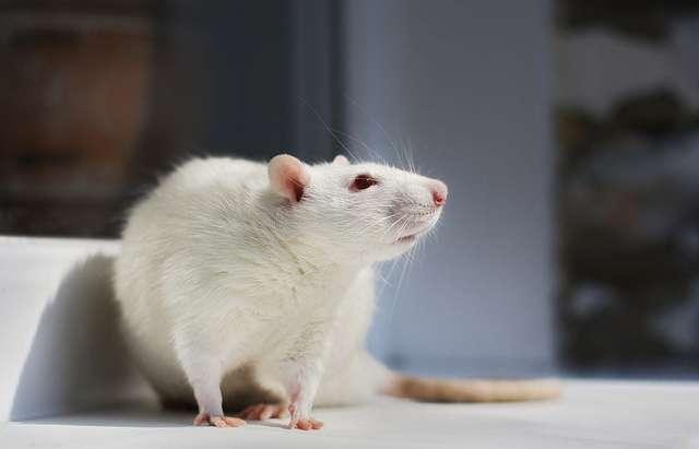 Les rats, mammifères de la famille des muridés, sont capables d'avoir de l'empathie pour leurs congénères. &copy ressaure, Flickr, cc by nc sa 2.0