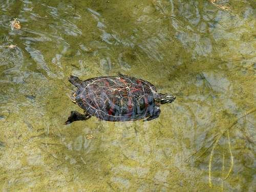 La tortue de Floride est une espèce invasive. © Matrok, Flickr, DR