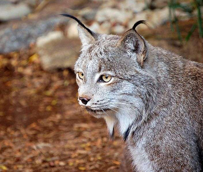 Photo d'un lynx du Canada. © Art G, Creative Commons Attribution 2.0 Generic license