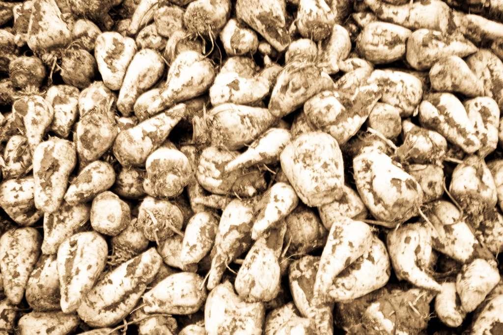 Grâce à une start-up française et à des bactéries « synthétiques », ces betteraves sucrières pourraient bientôt fournir des hydrocarbures aptes à alimenter des moteurs à essence. © KeO., Flickr, cc by nc sa 2.0