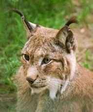 Après les loups, la Norvège décime ses lynx