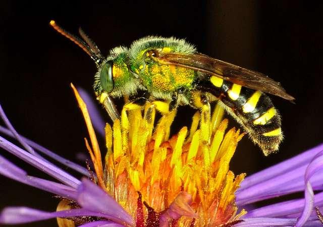 Contrairement à ce que sa couleur verte pourrait laisser penser, il ne s'agit pas d'une mouche mais d'une halicte qui butine cette fleur. © BoydCarts, Flickr, CC by-nc-nd 2.0