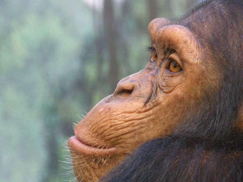 Chimpanzé - crédit : Frank Wouters