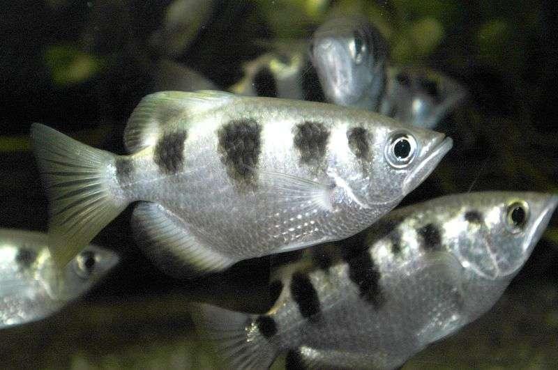 Toxotes jaculatrix, ou poisson-archer. Crédit: Zoo.be